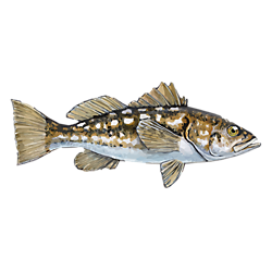 Calico Bass Fishing Solution