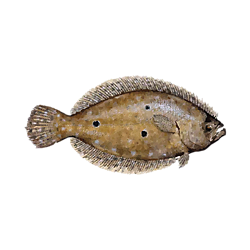 Complete Flounder Fishing Solution