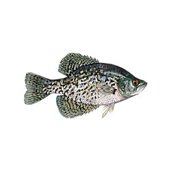 Panfish Fishing Solution