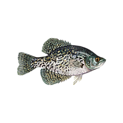 Panfish Solution
