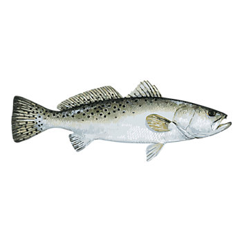 Complete Speckled Sea Trout Fishing Solution